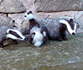 Olwen Veevers' felt badgers